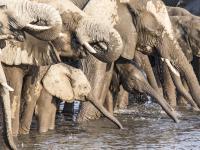 Chcesz kupić słonia? Możesz to zrobić w Namibii