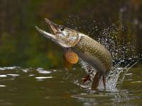 Szczupak pospolity – przebiegły podwodny drapieżnik