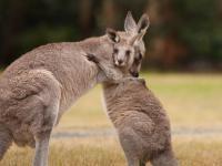 Naukowcy twierdzą, że kangury mogą komunikować się z ludźmi