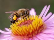Pszczoła miodna podczas zbierania nektaru. Źródło: shutterstock