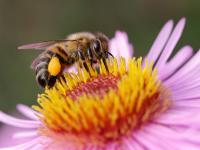 Pszczoła miodna - prawdziwa altruistka z żądłem