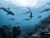 Populacje rekinów i płaszczek spadły o 70%, pozostawiając lukę w życiu oceanu