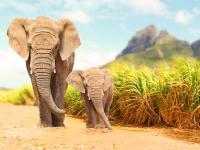 Słoń afrykański  ‒ opis, występowanie i zdjęcia. Zwierzę słoń afrykański ciekawostki