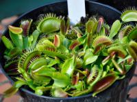 Rośliny mięsożerne ‒ gatunki, uprawa i pielęgnacja roślin mięsożernych