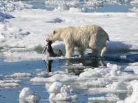 Niedźwiedzie polarne nie potrafią przystosować się do zmian klimatu