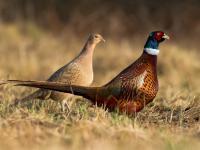 Bażant zwyczajny ‒ opis, występowanie i zdjęcia. Ptak bażant zwyczajny ciekawostki