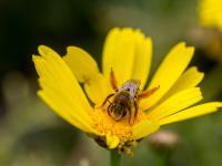 Naukowcy alarmują: pestycydy zagrażają dzikim pszczołom!