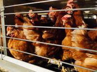 Giganci branży spożywczej chcą uwolnić kury z klatek