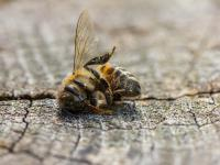 Zła wiadomość dla pszczół: pestycydy są coraz bardziej toksyczne