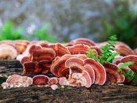 Grzyby w kosmetyce – właściwości, działanie i zastosowanie grzybów w kosmetyce