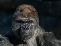 Dlaczego goryle biją się w klatkę piersiową?
