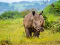W Nepalu żyje coraz więcej nosorożców. Wszystko przez pandemię!