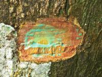 Drzewa, które żywią się metalami mogą oczyścić skażoną glebę
