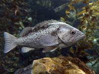 Ryby jedzą plastik już od lat 50. A będzie jeszcze gorzej!