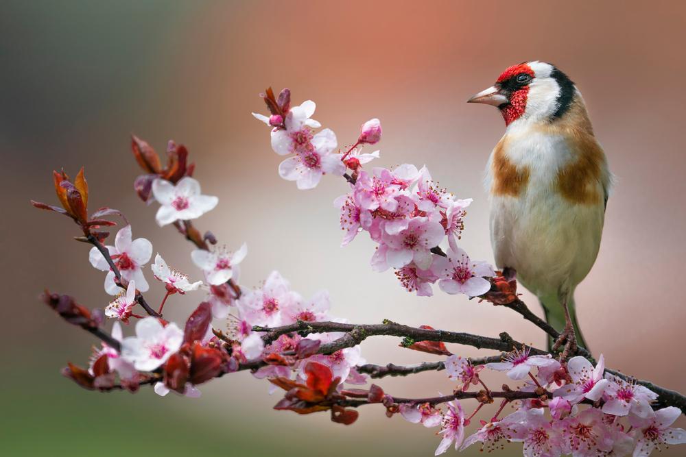 Szczygieł – opis, występowanie i zdjęcia. Ptak szczygieł ciekawostki