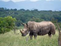 Nosoreżec - jeden z najstarszych gatunków na Ziemi