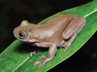 Coś dla fanów Harry'ego Pottera! Australijscy naukowcy odkryli czekoladową żabę