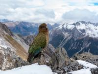 Papuga alpejska przeniosła się w góry, by unikać ludzi