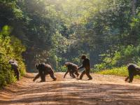 Umierają na naszych oczach! Małpy człekokształtne stracą 90% swoich siedlisk