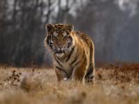 Tygrys azjatycki - charyzmatyczny łowca