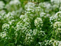 Rezedy – dla miłośników aromatycznych ogrodów