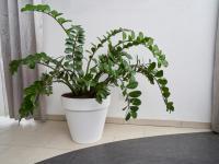 Zamiokulkas – modna roślina do każdego domu!