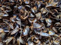Fala upałów zabiła miliard zwierząt morskich na wybrzeżu Kanady