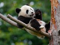 Wielki powrót kultowego zwierzęcia! Pandy wielkie nie są już zagrożone