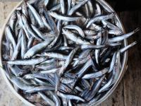 Sardela europejska, czyli mała ryba dużej wagi