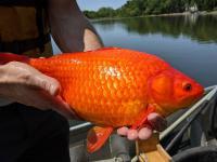 Gigantyczne złote rybki sieją spustoszenie w jeziorach!