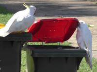 Kakadu w Sydney uczą się od siebie nawzajem, jak nurkować w koszach na śmieci