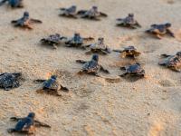 """Plastik tworzy """"ewolucyjną pułapkę"""" na młode żółwie morskie"""