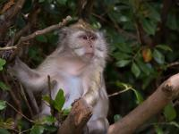 Samica stanęła na czele grupy makaków. To pierwszy taki przypadek w historii