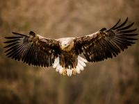 Bielik – opis, występowanie i zdjęcia. Ptak bielik ciekawostki