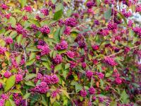 Pięknotka (kalikarpa) krzew – sadzenie, uprawa i pielęgnacja pięknotki