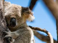 W ciągu trzech lat Australia straciła prawie jedną trzecią populacji koali!