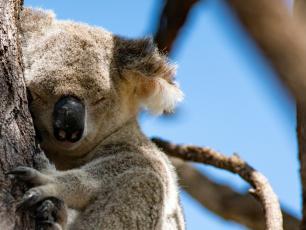 Australijskie koale mają kłopoty! W ciągu trzech lat ich populacja spadła o 1/3!