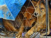 Prezydent Korei Południowej: nadszedł czas, aby rozważyć zakaz jedzenia psiego mięsa
