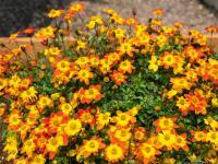Uczep – atrakcyjne kwiaty doniczkowe na całe lato