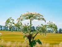 Barszcz Sosnowskiego – co to za roślina? Jak rozpoznać barszcz Sosnowskiego?