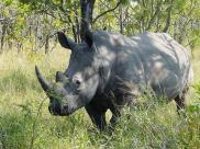 Fot.: nosorożec biały (Wikipedia, GNU)