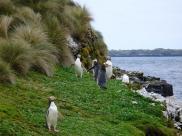 Fot.: pingwiny żołtookie (Wikipedia, CC)