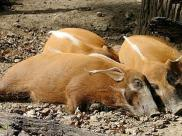 Fot.: świnia rzeczna (Wikipedia, GNU)