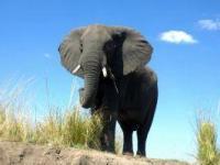 Słoń nie lubi nieznajomych