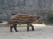 Fot.: młody tapir anta (Wikipedia, GNU)
