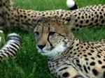 gepard,czaszka,nauka,skamieniałość,ssaki,zwierzęta