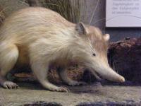 Jadowity ssak zagrożony