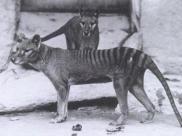 Fot.: wilk workowaty - zdjęcie z 1910 roku, wykonane w ZOO w Waszyngtonie