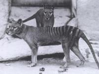 Wilk workowaty a ochrona gatunków