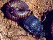 Fot.: chrząszcz z gatunku Deltochilum valgum  transportujący upolowanego wija (Trond Larsen)